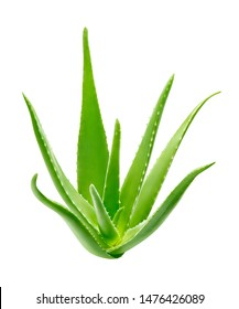 Aloe vera plant isolated on white background - clipping path included
