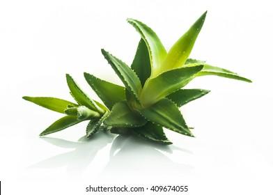 Aloe vera plant, isolated on a white background