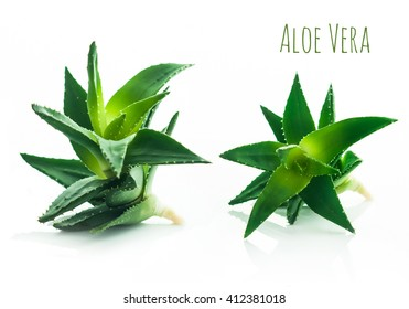 Aloe vera plant isolated on white background. Place for text. Detailed picture.