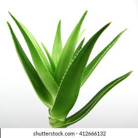 Aloe vera plant isolated on white.