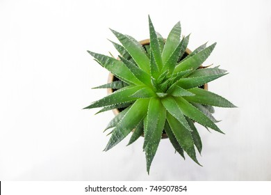 Aloe vera plant isolated on white,top view