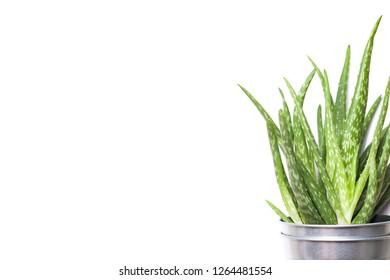 Aloe vera plant in metal flowerpot isolated on white.