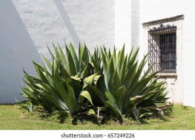 an aloe vera plant next to a white wall