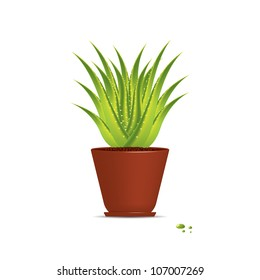 Aloe Vera plant in pot isolated on white