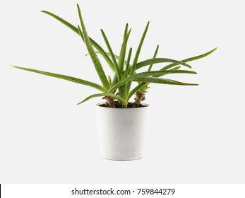Aloe vera plant in pot isolated on white background