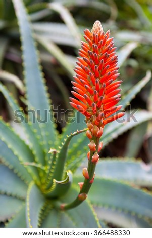 Aloe Vera Plant Red Flower Small Stock Photo Edit Now 366488330
