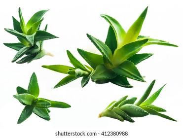 Aloe vera plant set isolated on white. Set of aloe vera plants