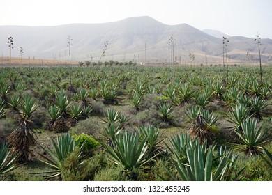 Aloe vera plantation on the Fuerteventura island, Spain