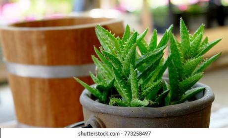 Aloe vera plants in flower pot on vintage Wooden table background.