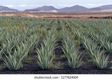 Aloe vera plants on the farm, Fuerteventura, Canary Islands, Spain