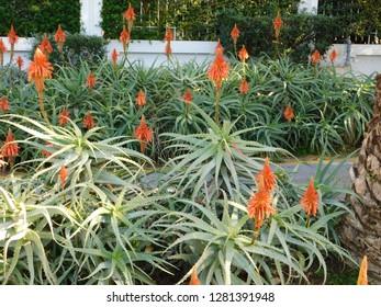 Aloe vera plants and orange flowers in a garden in Glyfada, Attica, Greece