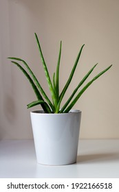 Aloe Vera in its pot 				Background of a taupe colored wall