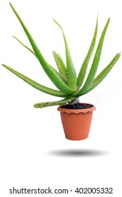 Aloe vera in a pot isolated on white background.