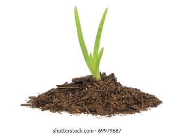 Aloe vera in soil.