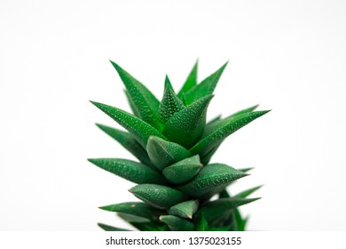 Aloe Vera top isolated on a white background