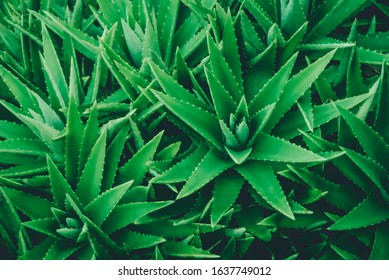 Aloe vera is tropical green plants tolerate hot weather. A close up of green leaves, aloe vera. Aloe vera is a very useful herbal medicine for skin care and hair care that can be used as treatment.