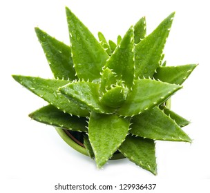 aloe vera with water drops isolated on white background