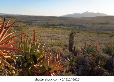 Aloes in the Karoo - South Africa