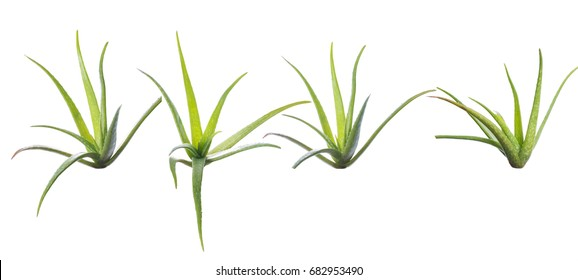 Aloevera plants isolated over white