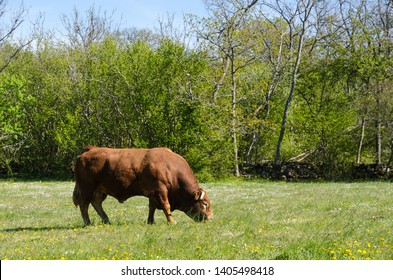 Alone big bull grazing in a green beautiful landscape by early springtime