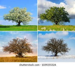 Alone big tree in four seasons