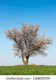 alone blooming apricot tree on green field under blue sky