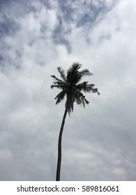 Alone Coconut tree