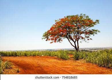 Alone Delonix regia flamboyant red flowers tree on rural road on sugar cane plantation