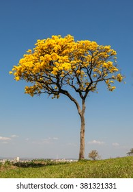 Alone Golden Trumpet Tree - Handroanthus albus - with city on background