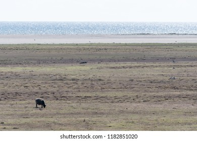 Alone grazing sheep in a wide grassland by the coast of the Baltic Sea on the swedish island Oland