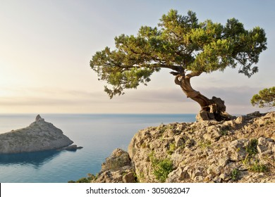 alone pine tree growing on the slope of the mountain in the Crimea