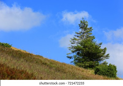 Alone pine tree on mountain slope, Carpathians