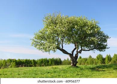 alone tree