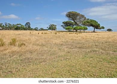 Alone tree against the blue sky and yellow field (Churchill island, Victoria, Australia)