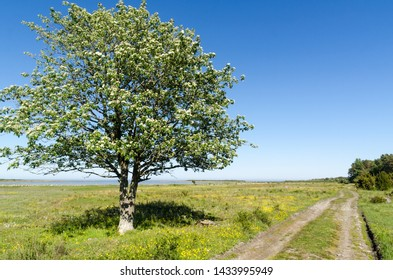 Alone tree by a dirt road in a beautiful landscape with green grass and yellow flowers at the swedish island Oland