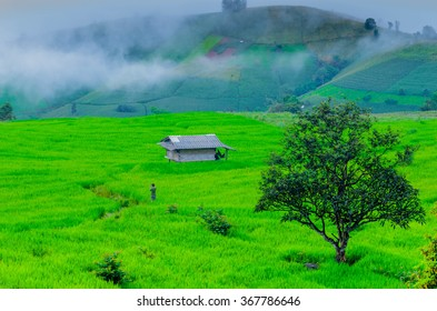 Alone tree and green rice field with the mist in morning.