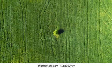 Alone tree on the field. Agricultural landscape from air