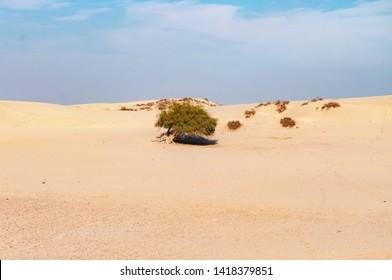 An alone tree in the Thar desert