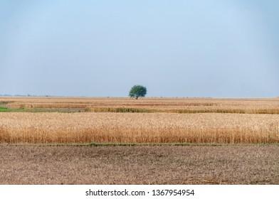 Alone tree in the wheat field