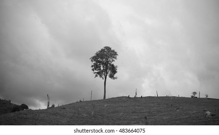 Alone tree,image black and white background.