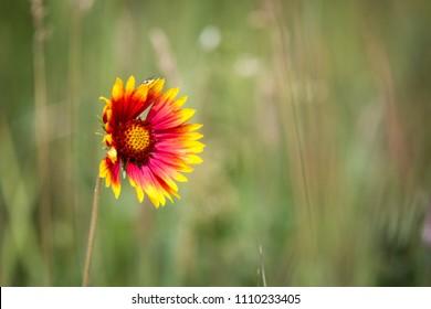 Alone wild flower on summer meadow