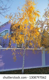 Alone yellow birch tree is located near a house. It is vertical image of a landscape.