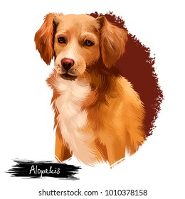 Alopekis breed digital art illustration isolated on white background. Cute domestic purebred animal. Brown dog with white neck, cute canine best friend with long fur, adorable purebred