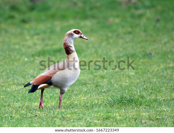 Alopochen aegyptiaca. Nilgans in a forest and meadow in Germany