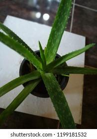 Alovera indoor plant