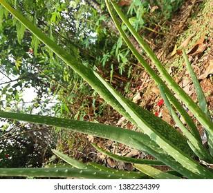 alovera one of the Ayurveda medicine