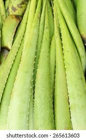 alovera plant