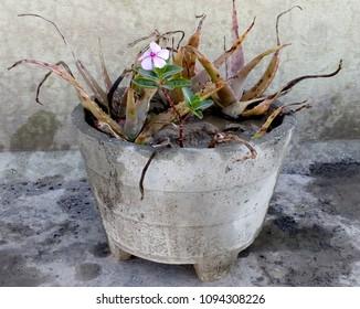 Alovera Plant on pot