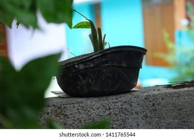 Alovera plant in a pot