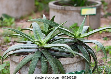 alovera plant,herb plant